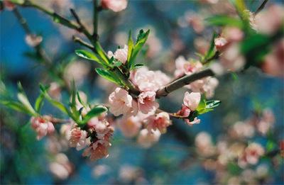 Cherrylike