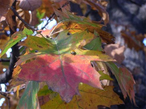 ladybug on oak leaf